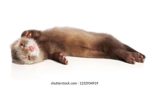 Charming Ferret sleeps sweetly on a white background. Animal themes