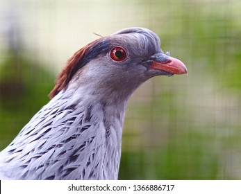 Charming Graceful Topknot Pigeon in a Elegant Glamorous Portrait.