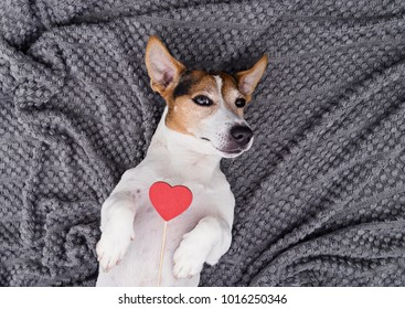 Charming jack russell dog lying back on gray background with red heart and looking at camera. Friendship, love and Valentine's day concept, top view copy space