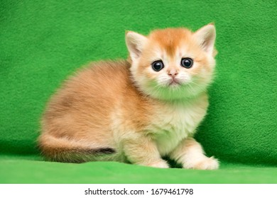 Charming little British kitty color gold chinchilla BRI ny 12 close-up on a green background