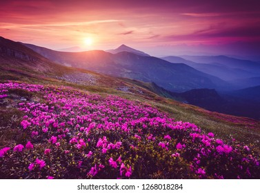 Charming pink flower rhododendrons at magical sunset. Location place Carpathian mountains, Ukraine, Europe. Beautiful nature landscape. Scenic image of the exotic place. Discover the beauty of earth.