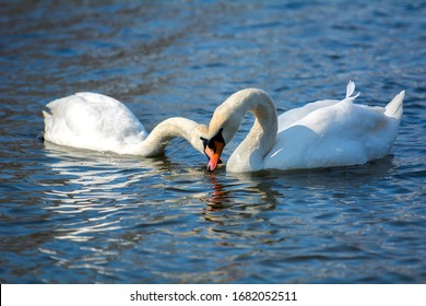 A charming powerful swan floats on the lake