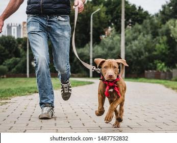 Charmanter Welpe von Schokoladenfarbe auf einem Morgenlauf mit seinem Besitzer auf dem Hintergrund der Wiese an einem klaren Sommertag. Nahaufnahme. Konzept der Betreuung, Erziehung, Gehorsam und Aufzucht von Haustieren