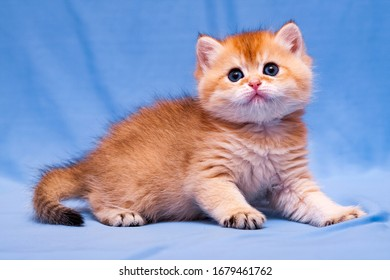 Charming red British kitten close up on a blue background