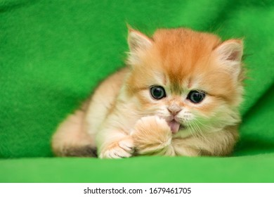 Charming red-haired British kitten licks his paw lying on a green background
