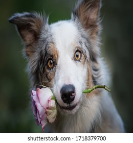 Charming red-haired dog with eyes closed sitting on the floor and holds a red rose in his mouth as a gift for Valentine's Day on a drak background.