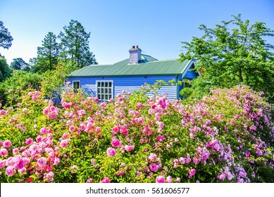 Charming rural cottage in countryside with blooming pink rose bush garden