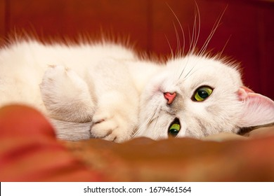 Charming silver British cat with green eyes and pink nose cute lying on the couch and looking at the camera