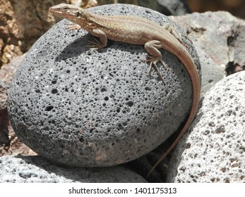 Charming Tenerife lizard (Gallotia galloti, female) on egg shape black lava stone, the reptilian stares at the camera. Close up, macro, natural background.