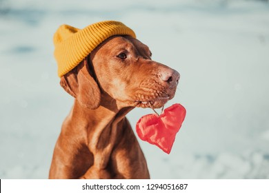 Charming vizsla dog lying back on snow background with red heart and looking at camera. Friendship, love and Valentine's day concept, top view copy space