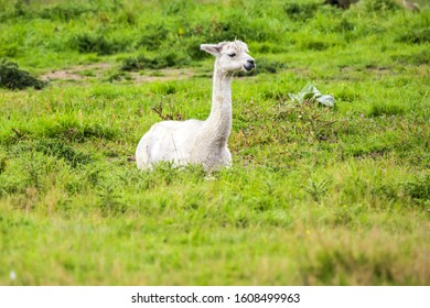 Charming white llama after a haircut pasting on green grass. Animal breeding farm for wool and meat. The concept of exotic, ecological and photo tourism