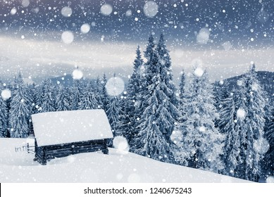 Charming white spruces on a frosty day. Location Carpathian national park, Ukraine, Europe. Winter alpine ski resort. Exotic wintry scene. Blue toning. Happy New Year! Discover the beauty of earth.