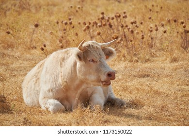 Charolais breed cow, ruminating after grazing