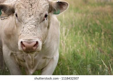 Charolais Bull in pasture