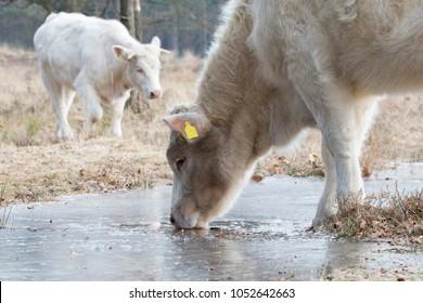 Charolais cattle (De Stulp, Lage Vuusche, the Netherlands)