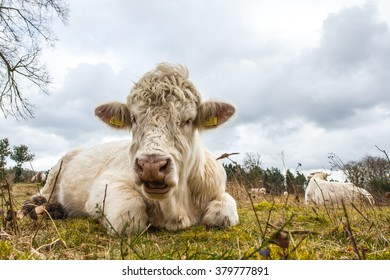 Charolais cattle laying on a moorland