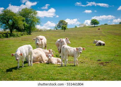 Charolais cows ands calfs in the meadow in France, Burgundy