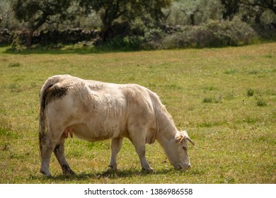 Charolais cows grazing in the meadow of Extremadura, Spain