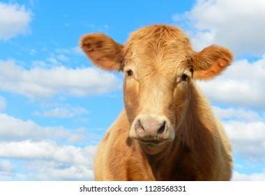 A charolais heifer enjoying a lovely sunny day