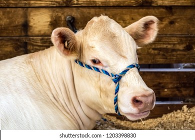 Charolais heifer neck and head with a blue halter