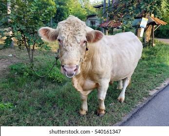 Charolais the ox in Thailand