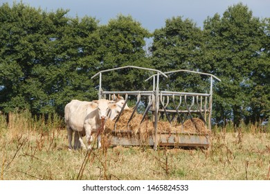 Charolaise cows eating hay in a feeder during drought in summer