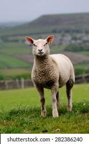 Charollais lamb