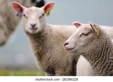 Charollais lambs