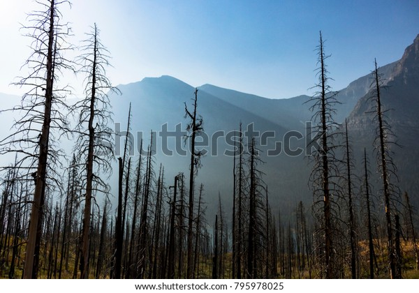 Charred Remnants of a Mountain Forest