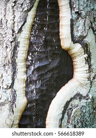 charred tree trunk covered with new bark