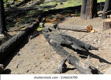 charred trees from a forest fire