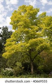 Chartreuse Acacia Tree