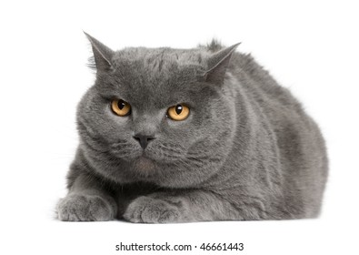 Chartreux cat, 7 years old, sitting in front of white background