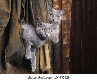Chartreux cats in old coat