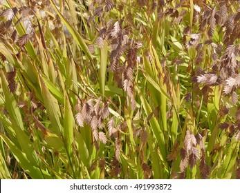 Chasmanthium latifolium - northern sea oats, ornamental grass, close up