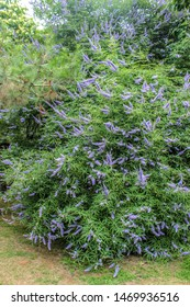 Chaste tree or chasteberry (Vitex). Tree-like large shrub with green leaves. Blue, purple paniculate-spiciform inflorescence at the tips of branches.