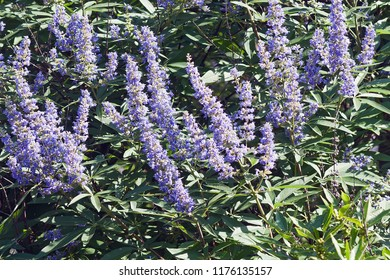 Chaste tree (Vitex agnus-castus). Called Vitex, Chasteberry, Abraham's balm, Lilac Chastetree and Monk's pepper also.