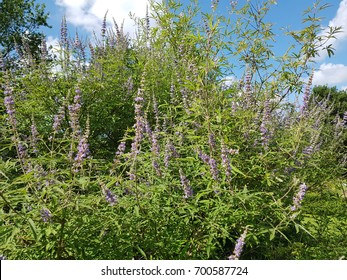 Chaste; Vitex agnus; castus; Healing plant