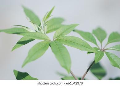 chasteberry