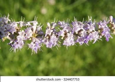 chasteberry flowers macro