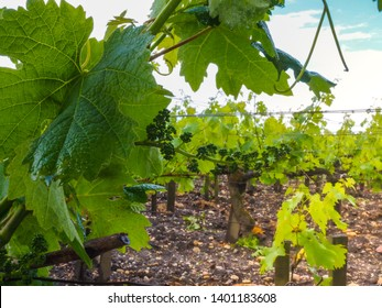 Chateau Kirwan Grapes in Medoc (Bordeaux) France