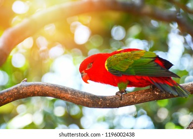 Chattering Lory / Colorful chattering Lory parrot standing on branch tree nuture green background - beautiful red parrot bird (Lorius garrulus)