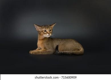 Chausie F1 kitten isolated on a dark background