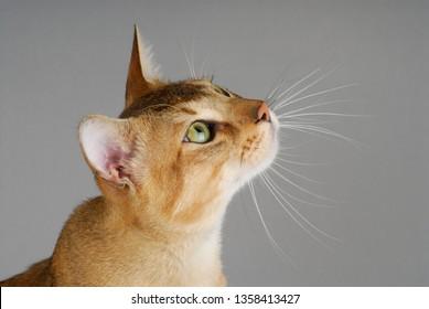 Chausie Cat Images, Stock Photos & Vectors | Shutterstock