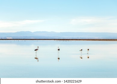 Chaxa Lagoon, Atakama Salar, Chile : Unusual landscape of salt formations and salt lake with Andean pink flamingos and volcanoes seen in the distance,sky reflecting in mirror of salty water at sunrise