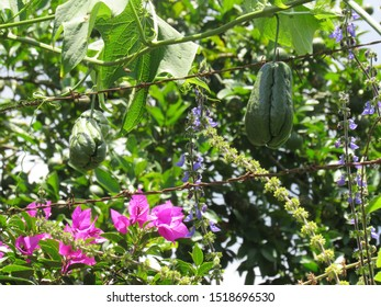 chayote plantation near barbed wire with spring flower near