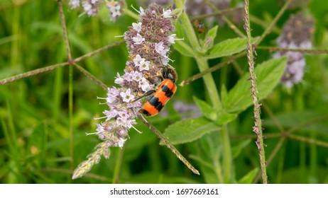 checkered beetle (lat. Trichodes apiarius)