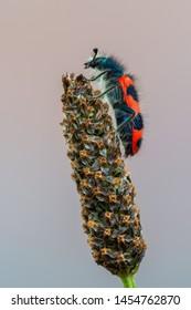 checkered beetles - Bee-Hive Beetle - Trichodes alvearius