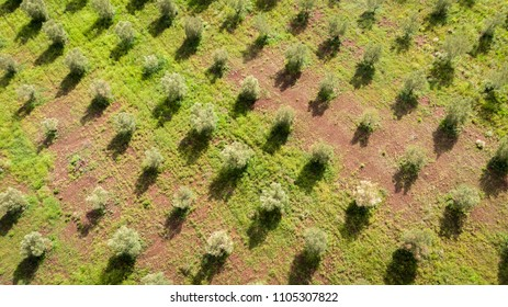a checkered tree composed of olive trees aligned