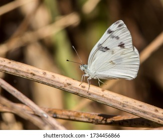 Checkered White butterfly in Central Texas